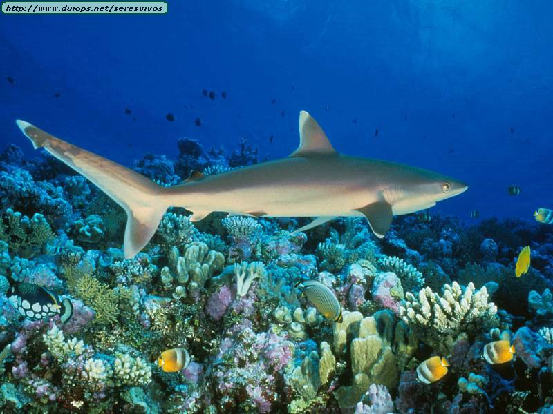Silvertip-Shark-Great-Barrier-Reef-Australia