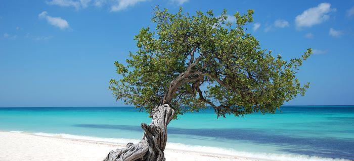 aruba_symbol_divi_divi_tree