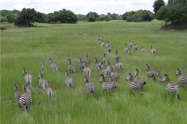 zebra_Zambia