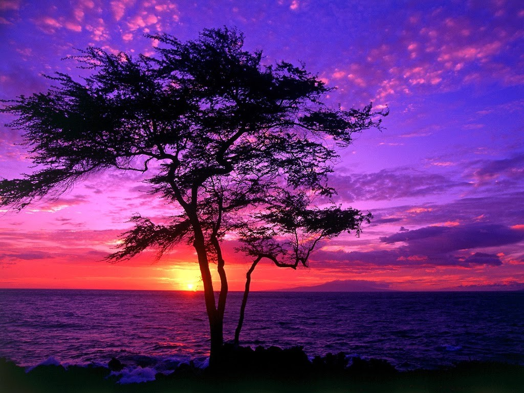 Kiawe-Tree-Wailea-Maui-Hawaii