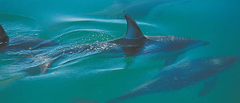 Tonga_Island_Dolphins